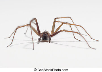 Close-up shot of a house spider (tegenaria domestica)