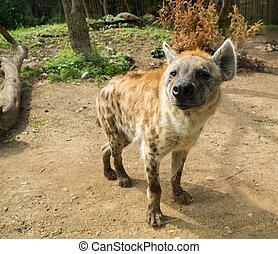 Close-up shot of a hyena
