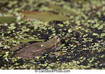 Close-up shot of a Marsh Frog (pelophylax ridibundus)