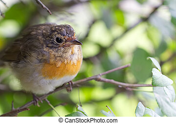 Close up shot of a robin redbreast stitting on a branch.