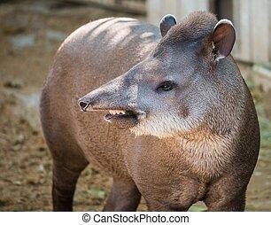 Close-up shot of a tapir