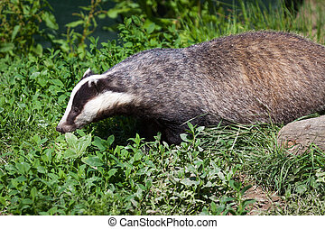Close-up shot of an European Badger (meles meles)