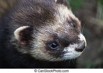 Close-up shot of an European Polecat (mustela putorius)