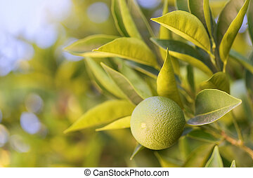 Close up shot of an orange on a branch of orange-tree - Croatia, island Brac