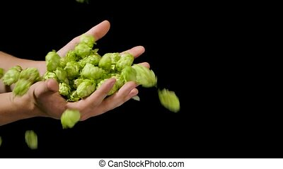 Close up shot of an young successful farmer is controlling with his hands at the moment harvested biologic raw hop flowers used for high quality beer production in ecological craft brewery