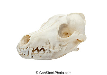 Detailed image of a animal skull isolated over white background.