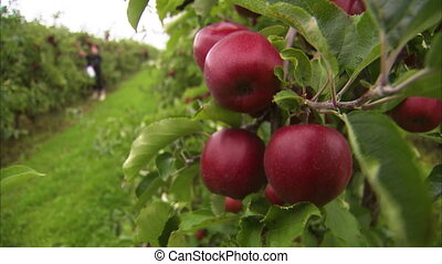 Close up shot of apples hanging on a tree