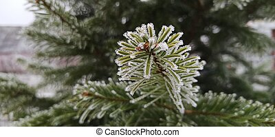 Close up shot of beautiful frozen pine tree branch