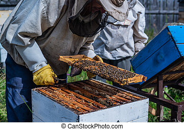 Close-up shot of beekeeper showing honeycomb frame with working bees making honey. Apiculture. Natural product. Beeswax. Bee farm.