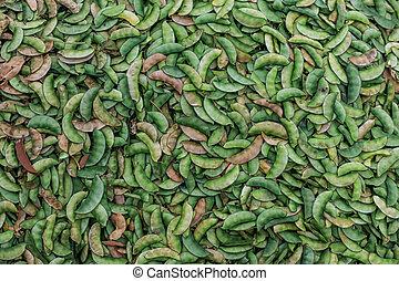 Close up shot of Broad beans