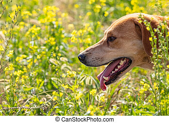 Close up shot of brown hound hunting in the field