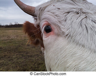 Close up shot of cow head in the field during overcast day.