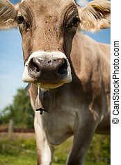 close up shot of cow with slobber
