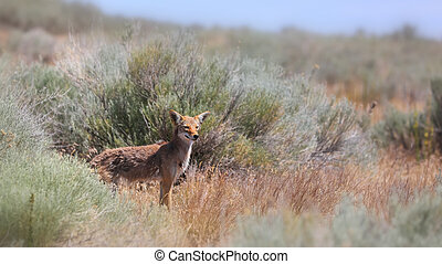 Close up shot of Coyote animal in the bushes