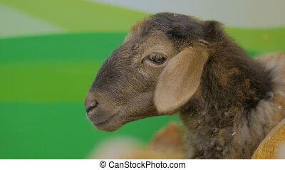 Close up shot of cute brown sheep in farm