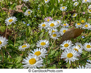 Close up shot of daisies in the springtime