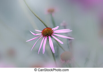 Close up shot of Daisy flower in the garden