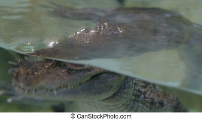 Close up shot of danger crocodile swimming in pond