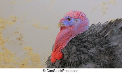Close up shot of domestic turkey