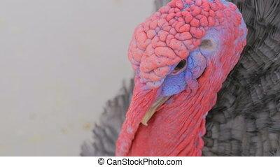 Close up shot of domestic turkey