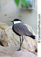 Egyptian Plover - Close up shot of Egyptian Plover bird