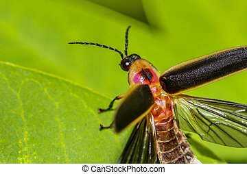 Close up shot of Firefly on a leaf