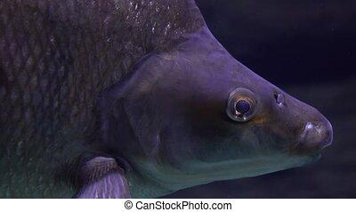 Close up shot of floating fish under water. 4K head shot...