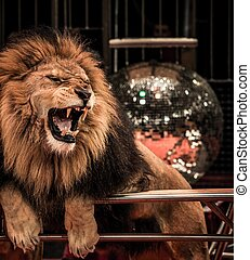 Close-up shot of  gorgeous roaring lion in circus arena