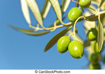 Close up shot of green olives on a branch of olive tree