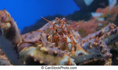 Close up shot of head of giant japanese spider crab....