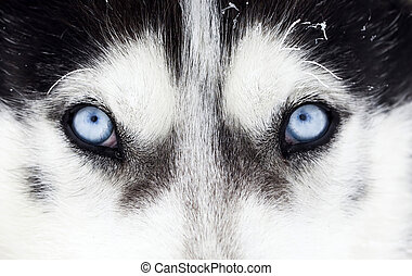 Close-up shot of husky dog blue eyes