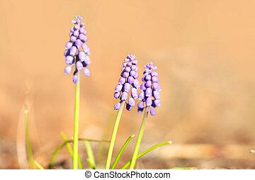 Close up shot of Hyacinth flowers
