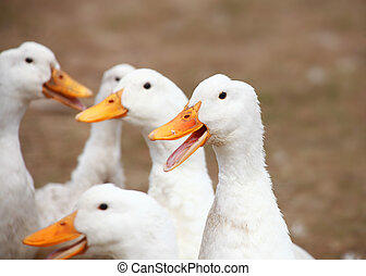 Close up shot of many ducks in the farm