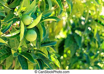 Close up shot of oranges on a branch of orange-tree - Croatia, island Brac