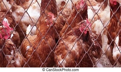 Young hens with brown feathers and yellow eyes look at the ...