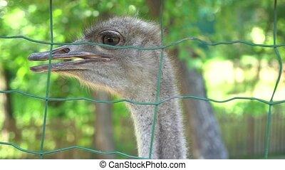 Close Up Shot of ostriches at a ostrich farm.