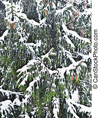 pine tree - close up shot of pine tree with snow