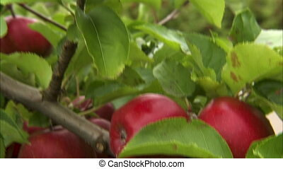 Close up shot of ripe red apples on a tree.