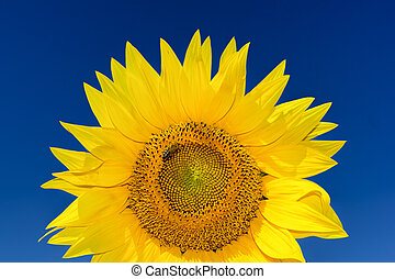 Close up shot of rising sunflower head with a bee