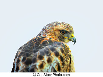Close up shot of saker Hawk