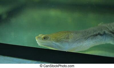 Close up shot of small marine turtle swiming in aquarium