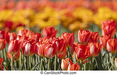 Close up shot of Tulip flowers in the garden