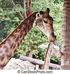 Close up shot of two giraffes