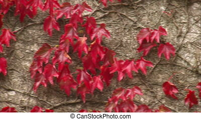 Close up shot of vines with red leaves on wall