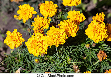 Close up shot of yellow carnation flowers