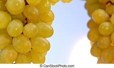 Close-up shot of yellow grapes on a sky backrgound