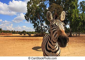 Close-up shot of zebra. - Close-up shot of zebra looking...