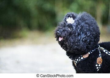 Black Dog on Leash Wearing Flower in Curly Hair in Wooded Area