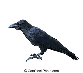 close up side view of crowed,jungle crow ,large bill crow,...