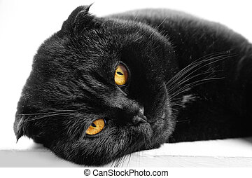 Close-up sleeping serious black Cat with Yellow Eyes in Dark. Face black Scottish fold cat with Golden eyes. Portrait of the cat